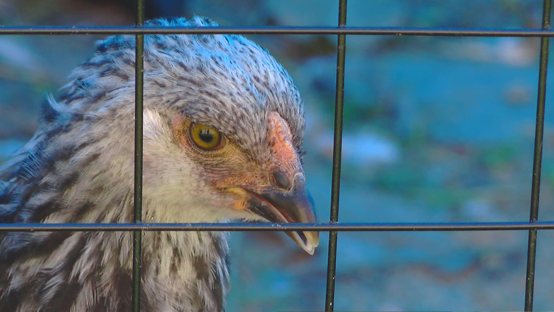 bird flu 1_4086
