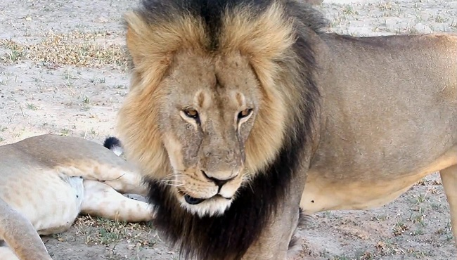 Zimbabwe Lion Killed_39023