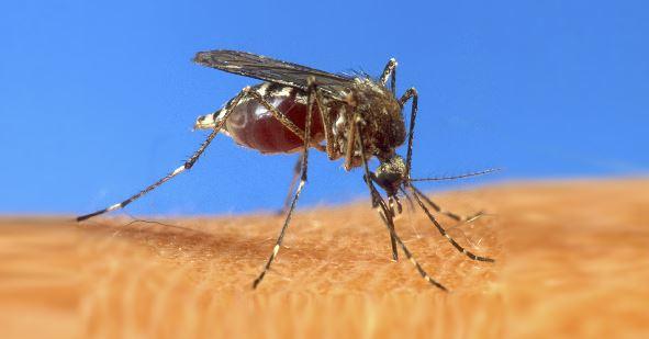 mosquito pic_7934