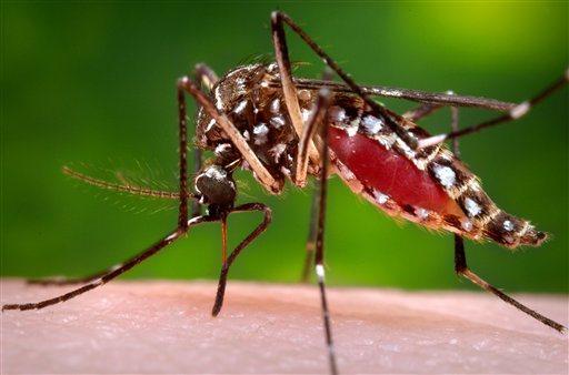Aedes aegypti mosquito_126487