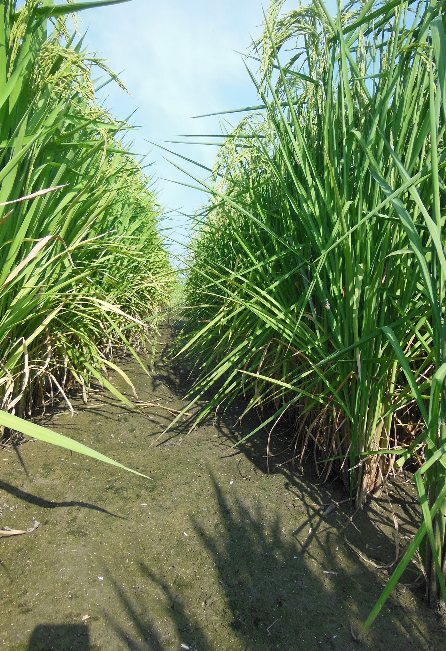 20161206_rice.jpg Photo by Lee Atwill, Mississippi State University Extension Service, used with permission_255799